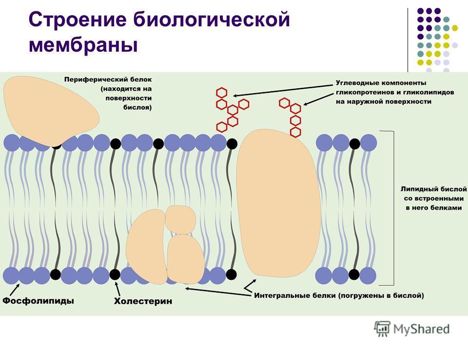 Строение биологической