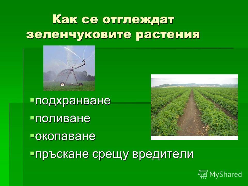 Как се отглеждат зеленчуковите растения подхранване подхранване поливание поливание окопаване окопаване пръскане среду вредители пръскане среду вредители