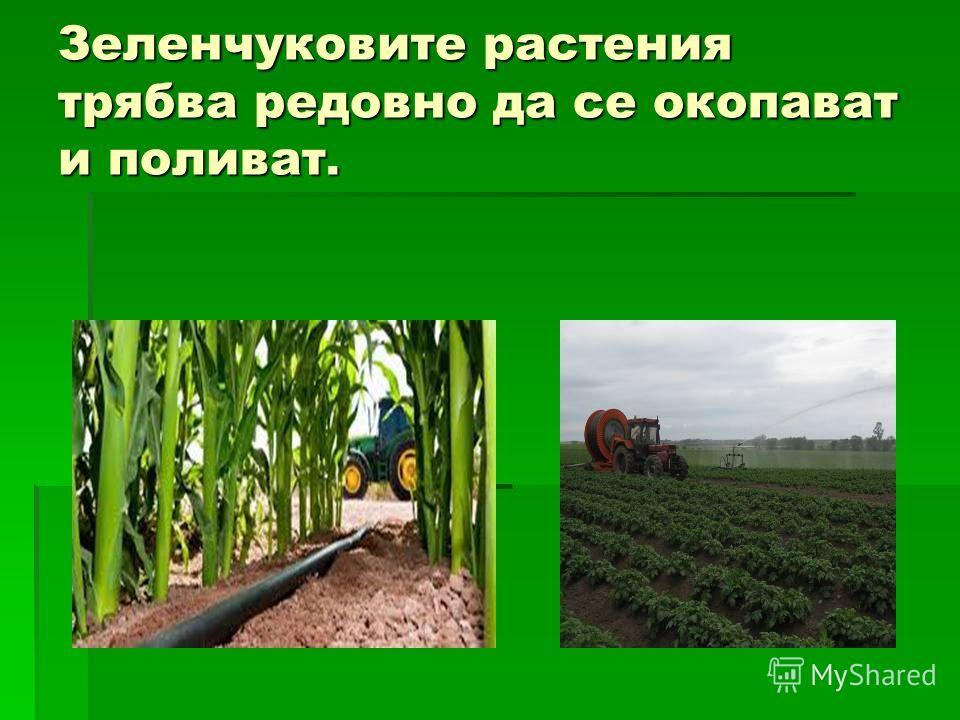 Зеленчуковите растения трябва редовно да се окопават и поливать.