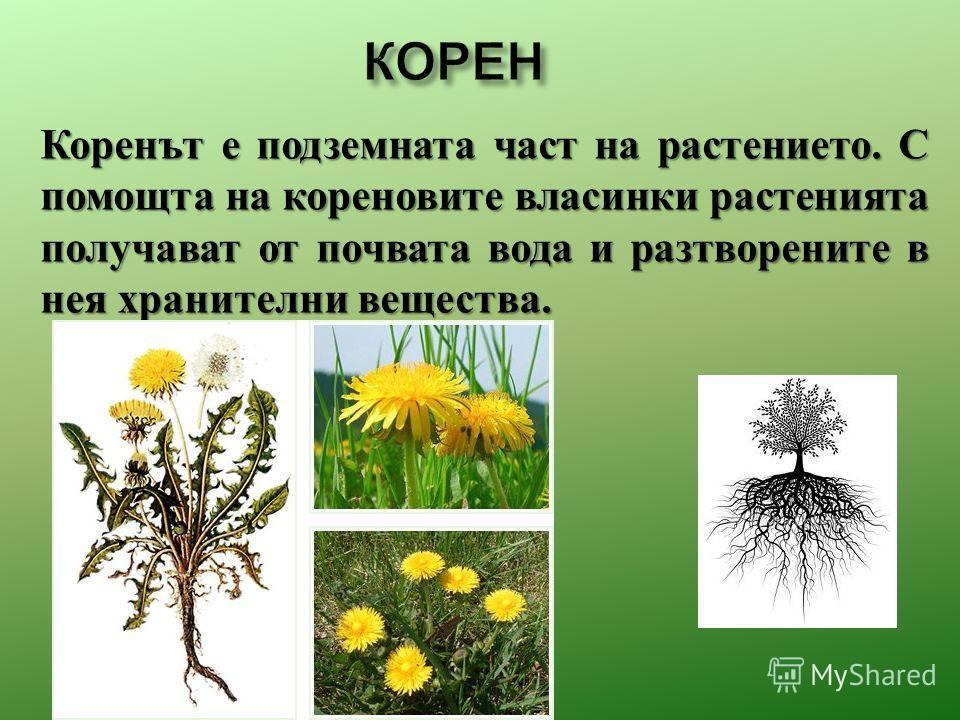 Коренът е подземната част на растение то. С помощта на кореновите власинки растения та получават от почвата вода и разтворените в нея хранители вещества.