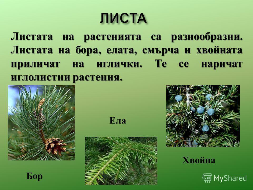 Листата на растения та са разнообразны. Листата на бора, плата, смерча и хвойната приличат на иглички. Те се наричат иглолистни растения. Ела Бор Хвойна