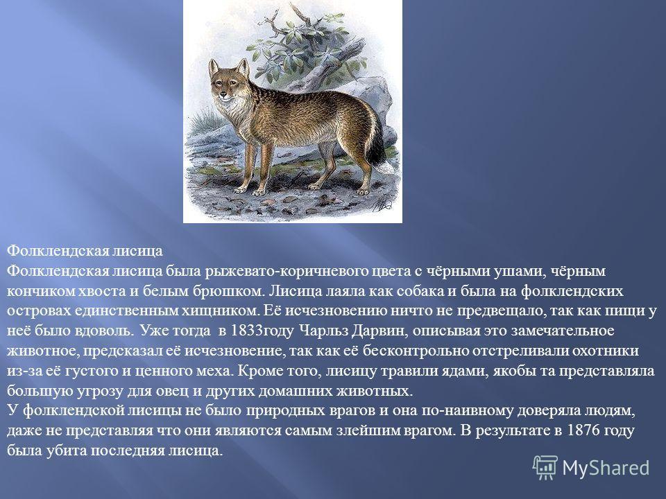 Фолклендская лисица Фолклендская лисица была рыжевато-коричневого цвета с чёрными ушами, чёрным кончиком хвоста и белым брюшком. Лисица лаяла как собака и была на фолклендских островах единственным хищником. Её исчезновению ничто не предвещало, так к