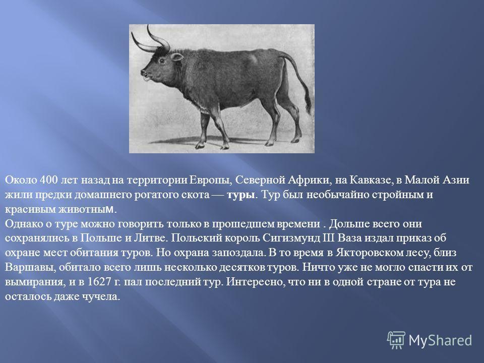 Около 400 лет назад на территории Европы, Северной Африки, на Кавказе, в Малой Азии жили предки домашнего рогатого скота туры. Тур был необычайно стройным и красивым животным. Однако о туре можно говорить только в прошедшем времени. Дольше всего они