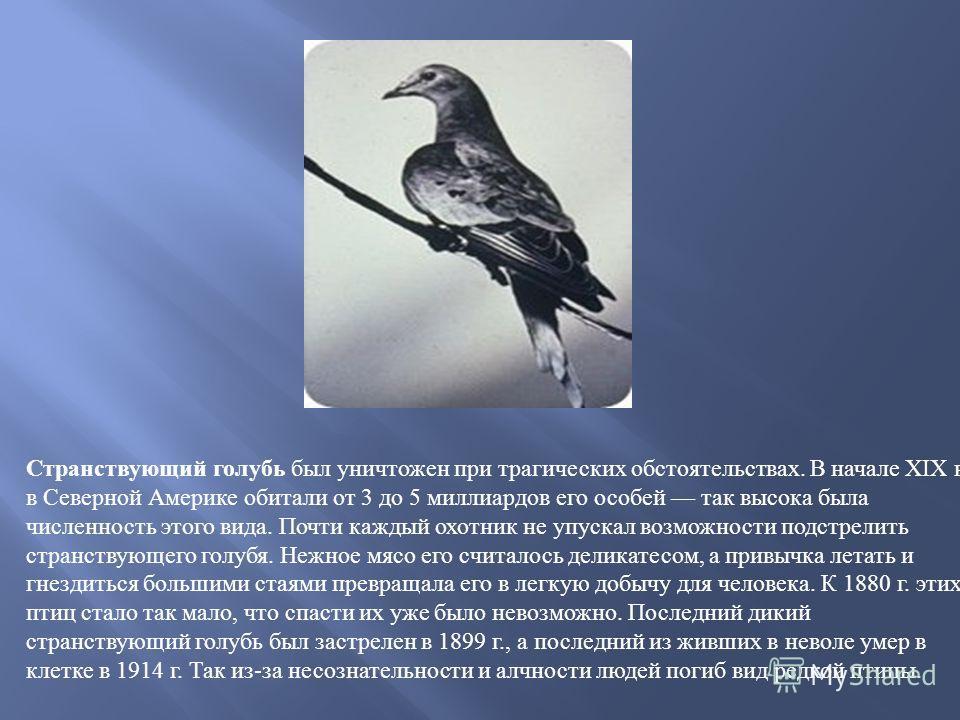 Странствующий голубь был уничтожен при трагических обстоятельствах. В начале XIX в. в Северной Америке обитали от 3 до 5 миллиардов его особей так высока была численность этого вида. Почти каждый охотник не упускал возможности подстрелить странствующ