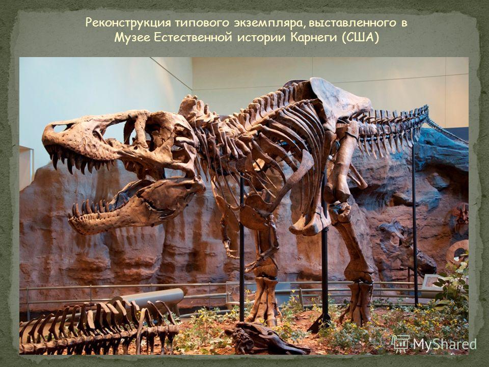 Рост: 4 метра Длина: 13 метров Вес: 7 тонн Питание: крупные динозавры Обнаружен: 1905 год, США Похожие ископаемые: Альбертозавр Период: 68 – 65 млн.лет назад