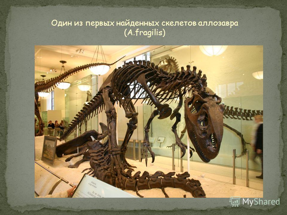 Аллозавр в сравнении с другими крупными тетраподами и человеком. Спинозавр Тираннозавр Аллозавр