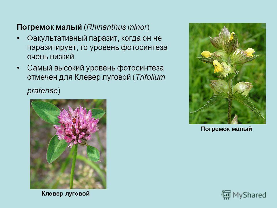 Погремок малый (Rhinanthus minor) Факультативный паразит, когда он не паразитирует, то уровень фотосинтеза очень низкий. Самый высокий уровень фотосинтеза отмечен для Клевер луговой (Trifolium pratense) Погремок малый Клевер луговой