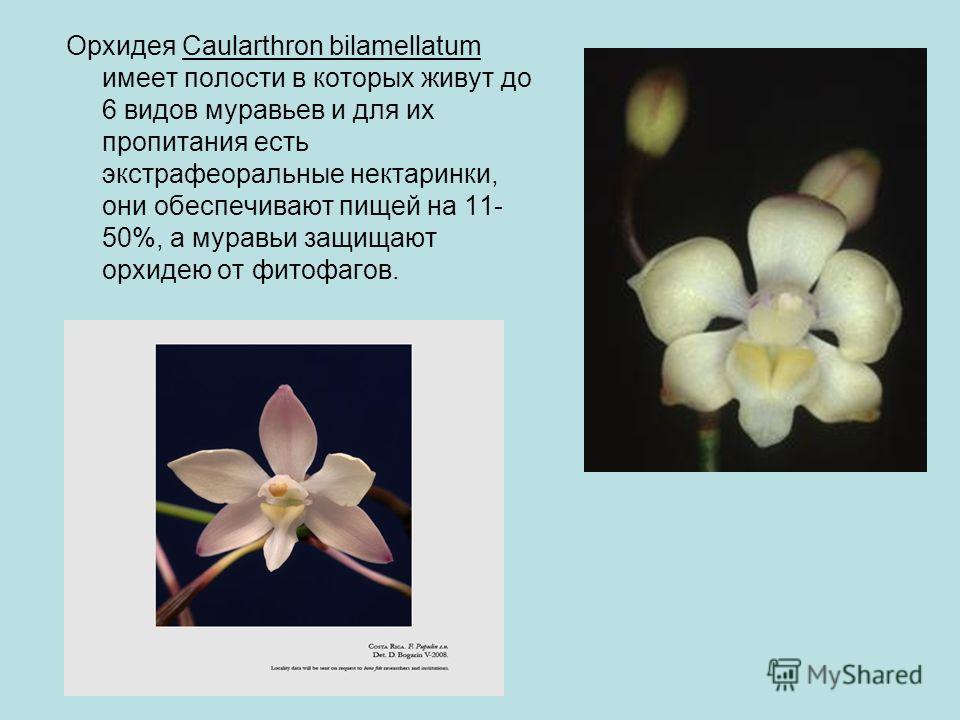 Орхидея Caularthron bilamellatum имеет полости в которых живут до 6 видов муравьев и для их пропитания есть экстрафеоральные нектаринки, они обеспечивают пищей на 11- 50%, а муравьи защищают орхидею от фитофагов.