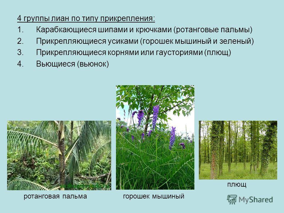 4 группы лиан по типу прикрепления: 1. Карабкающиеся шипами и крючками (ротанговые пальмы) 2. Прикрепляющиеся усиками (горошек мышиный и зеленый) 3. Прикрепляющиеся корнями или гаусториями (плющ) 4. Вьющиеся (вьюнок) ротанговая пальмагорошек мышиный