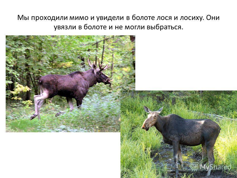 Мы проходили мимо и увидели в болоте лося и лосиху. Они увязли в болоте и не могли выбраться.