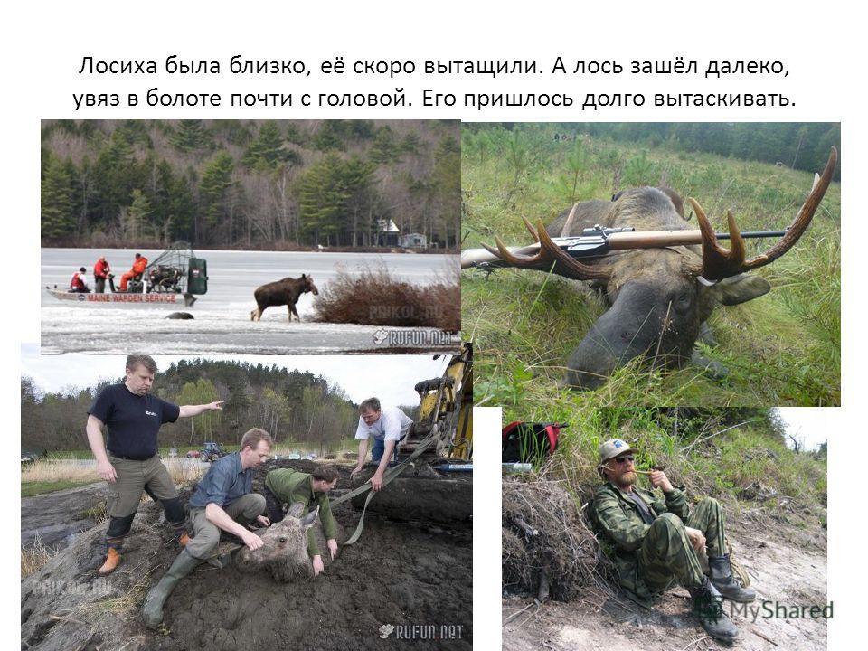 Лосиха была близко, её скоро вытащили. А лось зашёл далеко, увяз в болоте почти с головой. Его пришлось долго вытаскивать.