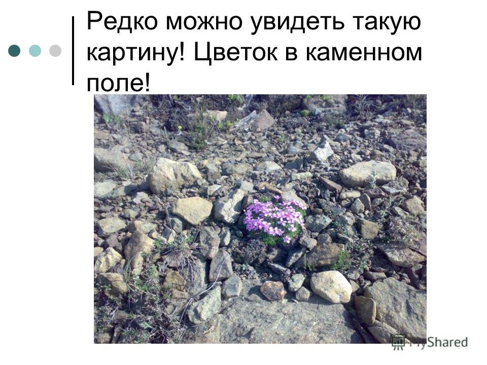 Редко можно увидеть такую картину! Цветок в каменном поле!