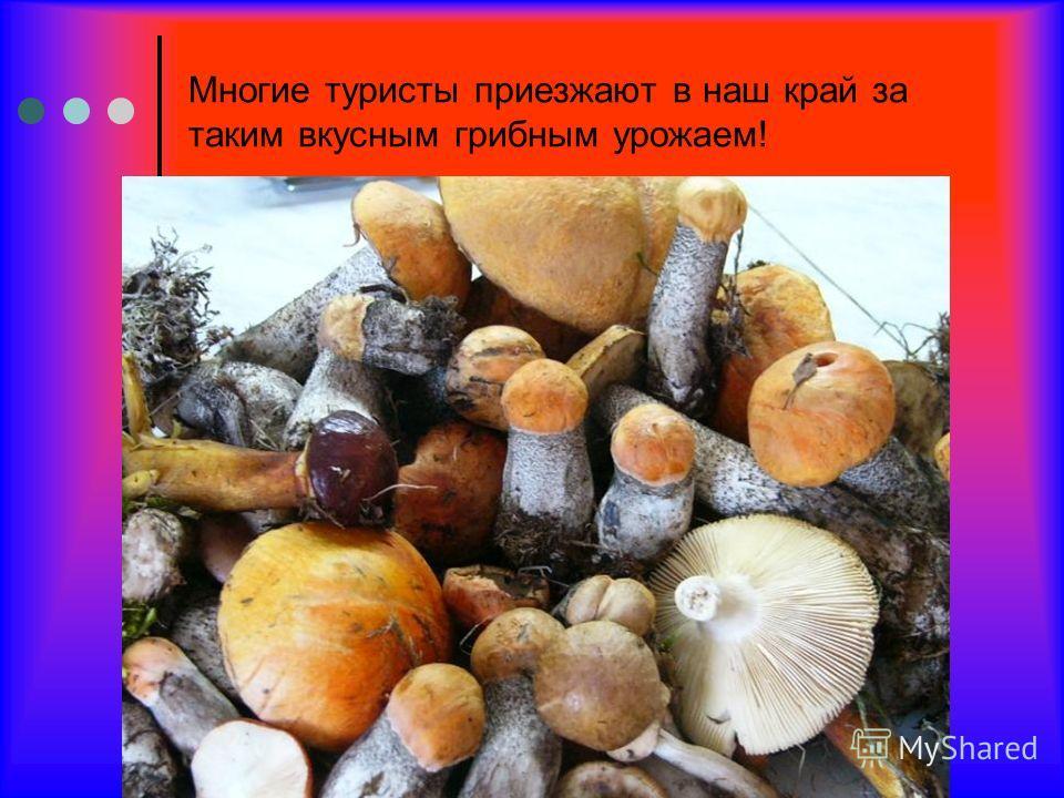 Многие туристы приезжают в наш край за таким вкусным грибным урожаем!
