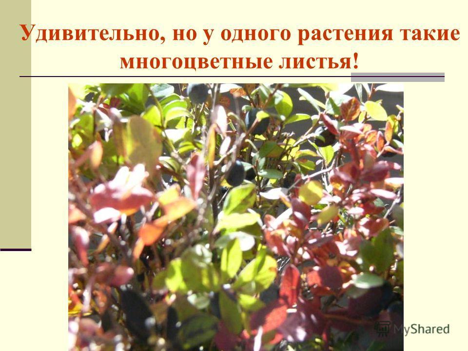 Удивительно, но у одного растения такие многоцветные листья!