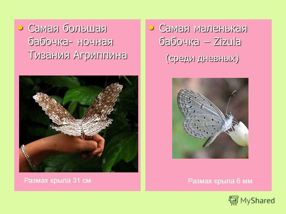 Самая большая бабочка- ночная Тизания Агриппина Самая большая бабочка- ночная Тизания Агриппина Самая маленькая бабочка – Zizula Самая маленькая бабочка – Zizula (среди дневных) (среди дневных) Размах крыла 31 см Размах крыла 6 мм