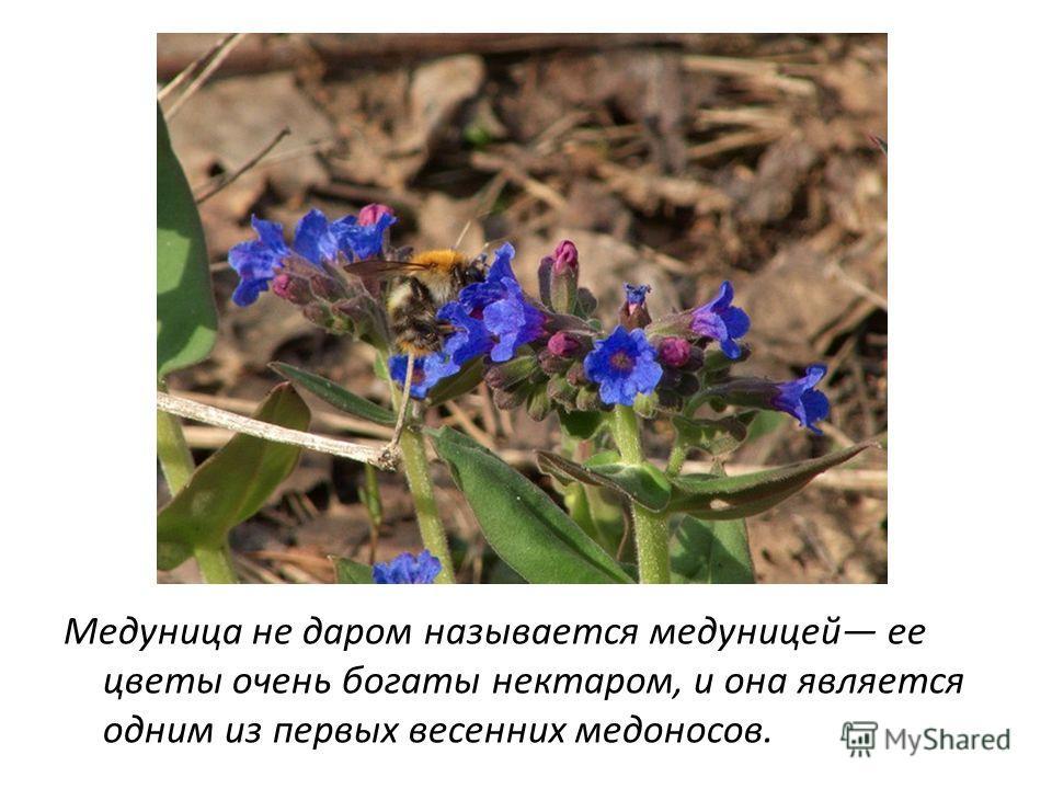 Медуница не даром называется медуницей ее цветы очень богаты нектаром, и она является одним из первых весенних медоносов.