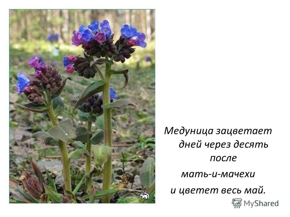 Медуница зацветает дней через десять после мать-и-мачехи и цветет весь май.