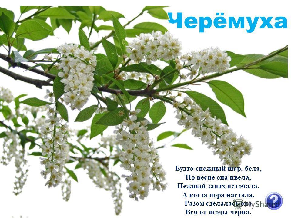 Черёмуха Будто снежный шар, бела, По весне она цвела, Нежный запах источала. А когда пора настала, Разом сделалась она Вся от ягоды черна.
