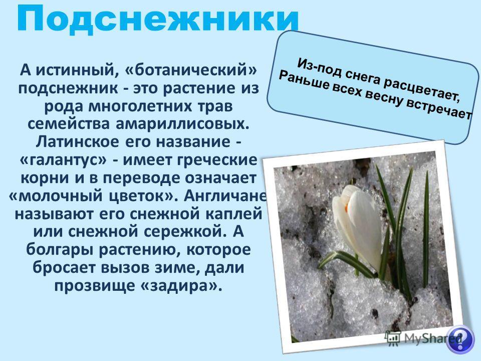 Подснежники А истинный, «ботанический» подснежник - это растение из рода многолетних трав семейства амариллисовых. Латинское его название - «галантус» - имеет греческие корни и в переводе означает «молочный цветок». Англичане называют его снежной кап