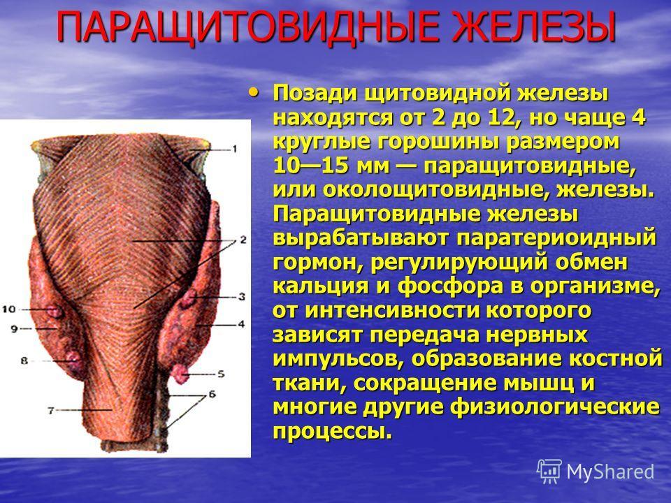 ПАРАЩИТОВИДНЫЕ ЖЕЛЕЗЫ Позади щитовидной железы находятся от 2 до 12, но чаще 4 круглые горошины размером 1015 мм паращитовидные, или околощитовидные, железы. Паращитовидные железы вырабатывают паратериоидный гормон, регулирующий обмен кальция и фосфо