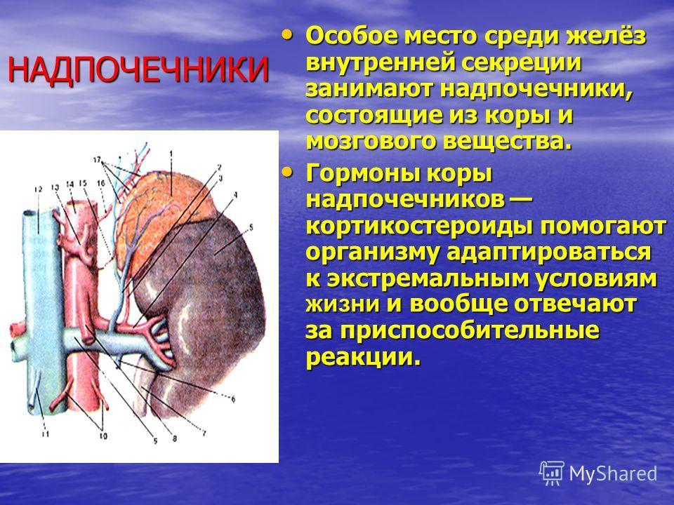НАДПОЧЕЧНИКИ Особое место среди желёз внутренней секреции занимают надпочечники, состоящие из коры и мозгового вещества. Особое место среди желёз внутренней секреции занимают надпочечники, состоящие из коры и мозгового вещества. Гормоны коры надпочеч