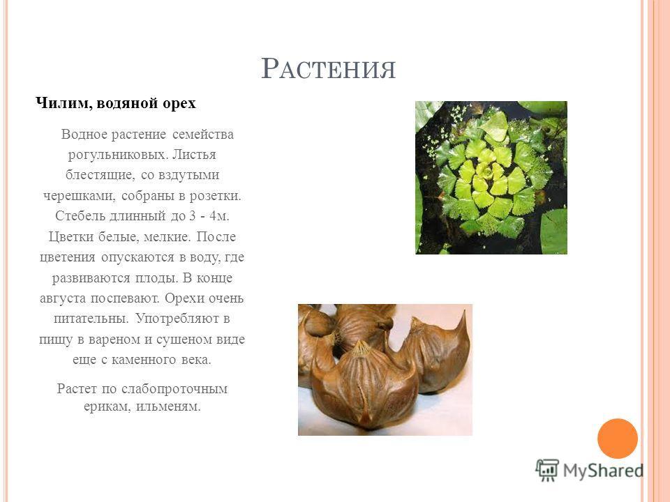 Р АСТЕНИЯ Чилим, водяной орех Водное растение семейства рогульниковых. Листья блестящие, со вздутыми черешками, собраны в розетки. Стебель длинный до 3 - 4 м. Цветки белые, мелкие. После цветения опускаются в воду, где развиваются плоды. В конце авгу