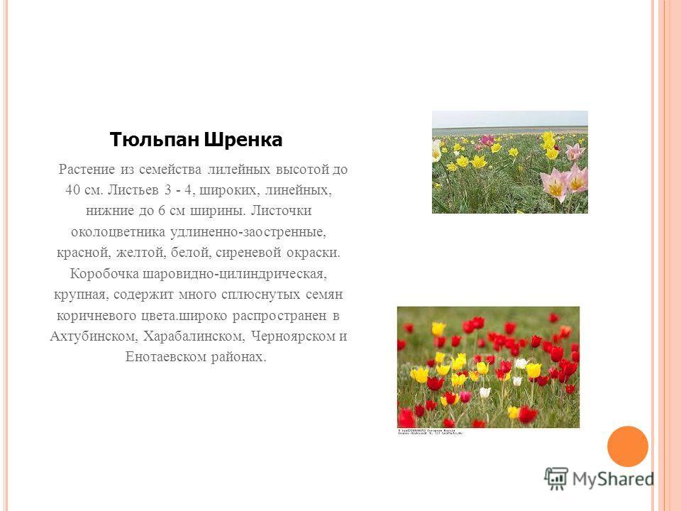 Тюльпан Шренка Растение из семейства лилейных высотой до 40 см. Листьев 3 - 4, широких, линейных, нижние до 6 см ширины. Листочки околоцветника удлиненно-заостренные, красной, желтой, белой, сиреневой окраски. Коробочка шаровидно-цилиндрическая, круп