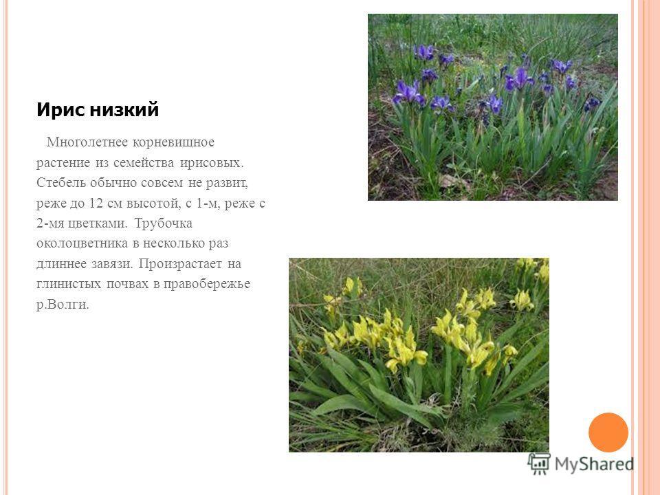 Ирис низкий Многолетнее корневищное растение из семейства ирисовых. Стебель обычно совсем не развит, реже до 12 см высотой, с 1-м, реже с 2-мя цветками. Трубочка околоцветника в несколько раз длиннее завязи. Произрастает на глинистых почвах в правобе