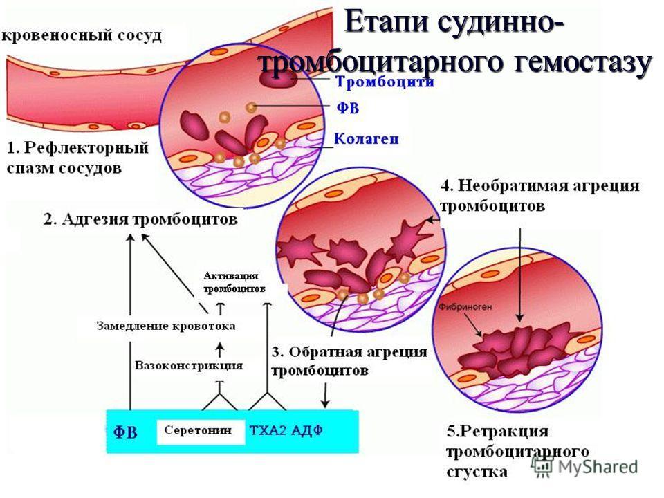 ФУНКЦІЇ ТРОМБОЦИТІВ Гемостатична функція - тромбоцити виділяють речовини, які беруть участь у функціонуванні системи гемостазу. Ангіотрофічна функція - тромбоцити беруть участь у підтримці нормальної структури і функції ендотелію судинної стінки. Рег