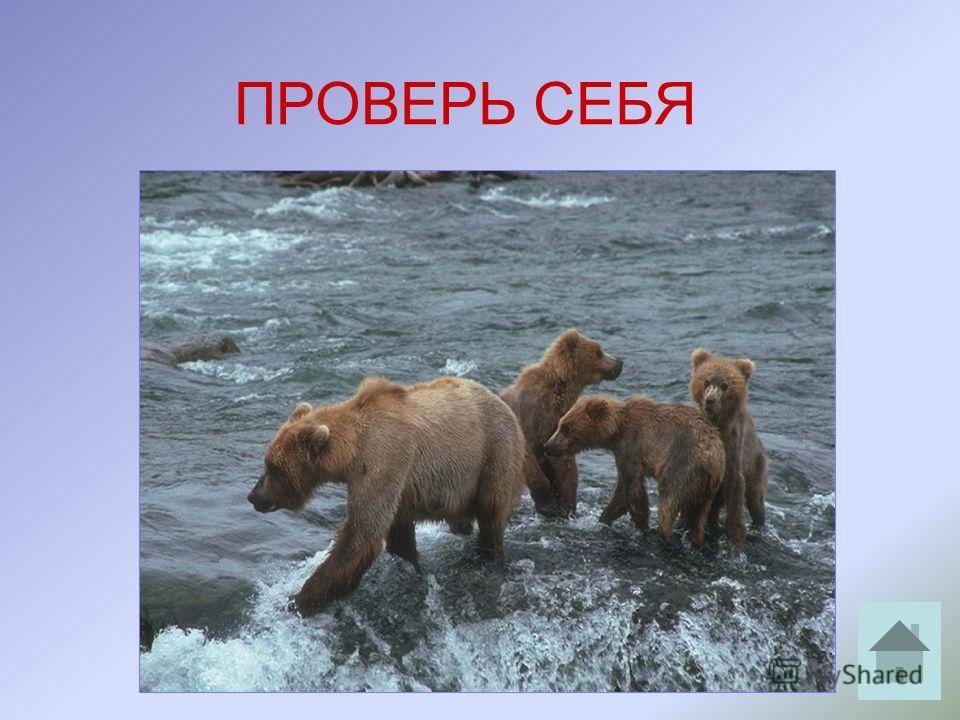 ВНИМАНИЕ! ВОПРОС: «Наш знакомый охотник шёл берегом лесной реки и вдруг услышал громкий треск сучьев. Он испугался и влез на дерево». Кого встретил охотник?