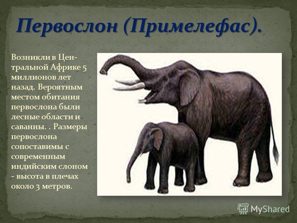 Возникли в Цен- тральной Африке 5 миллионов лет назад. Вероятным местом обитания первой слона были лесные области и саванны.. Размеры первой слона сопоставимы с современным индийским слоном - высота в плечах около 3 метров.