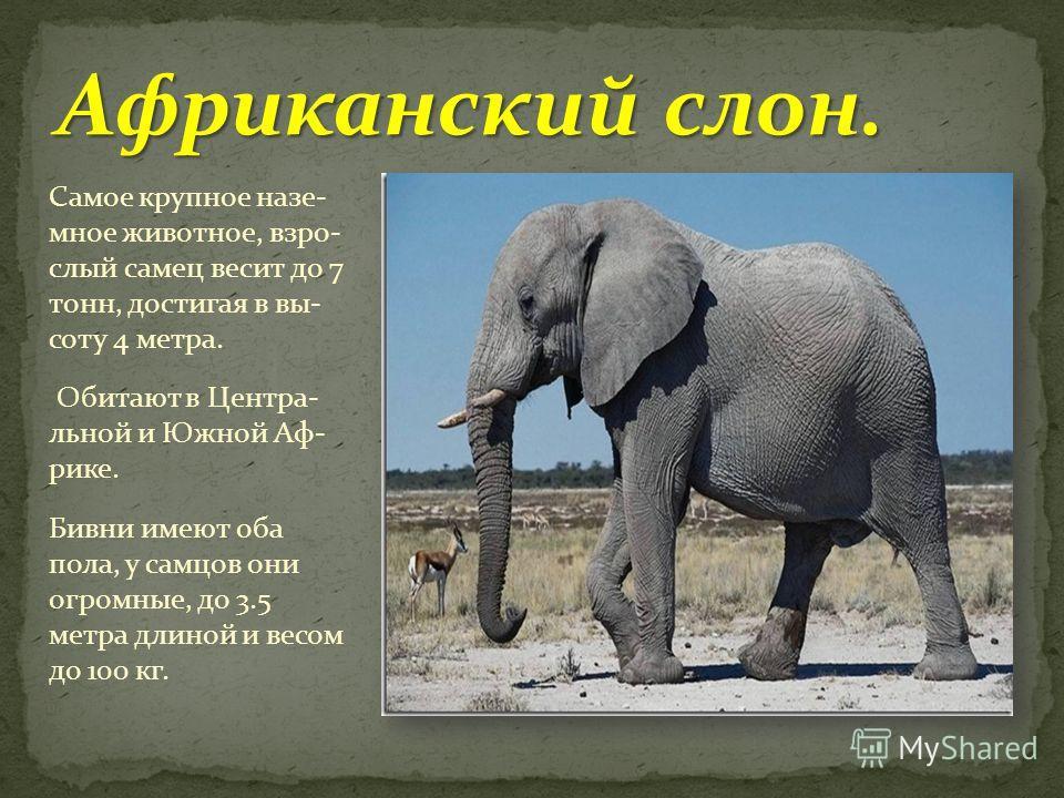Самое крупное наземное животное, взрослый самец весит до 7 тонн, достигая в высоту 4 метра. Обитают в Центра- льной и Южной Аф- рике. Бивни имеют оба пола, у самцов они огромные, до 3.5 метра длиной и весом до 100 кг.