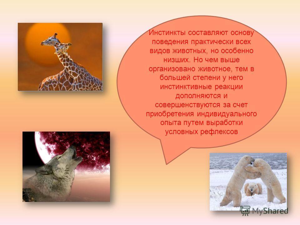 Инстинкты составляют основу поведения практически всех видов животных, но особенно низших. Но чем выше организовано животное, тем в большей степени у него инстинктивные реакции дополняются и совершенствуются за счет приобретения индивидуального опыта