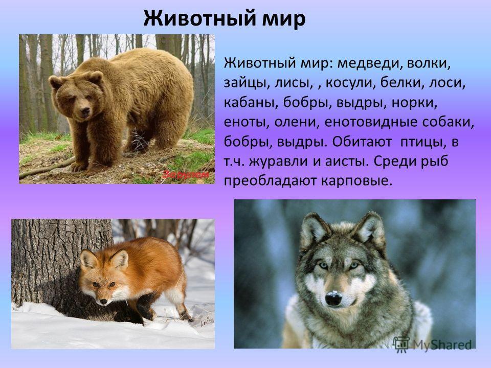 Животный мир Животный мир: медведи, волки, зайцы, лисы,, косули, белки, лоси, кабаны, бобры, выдры, норки, еноты, олени, енотовидные собаки, бобры, выдры. Обитают птицы, в т.ч. журавли и аисты. Среди рыб преобладают карповые.