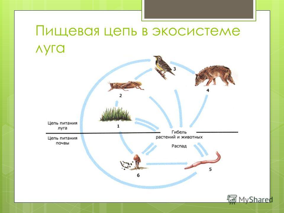 Пищевая цепь в экосистеме луга