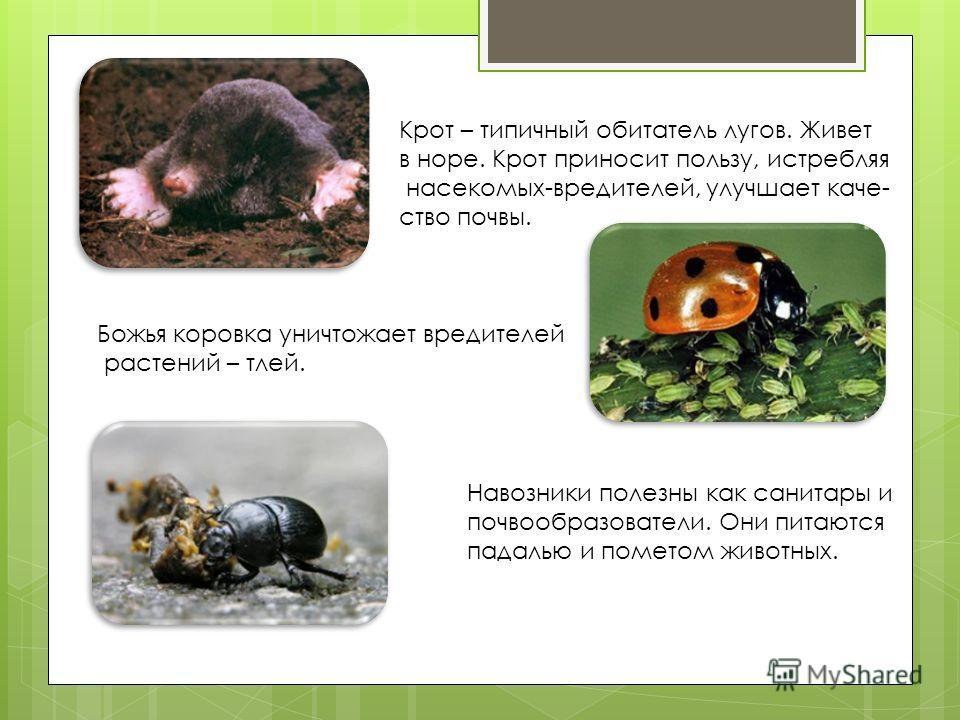 Крот – типичный обитатель лугов. Живет в норе. Крот приносит пользу, истребляя насекомых-вредителей, улучшает качество почвы. Божья коровка уничтожает вредителей растений – тлей. Навозники полезны как санитары и почвообразователи. Они питаются падаль