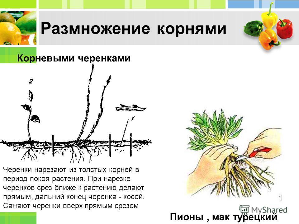 размножение дерена белого черенками весной