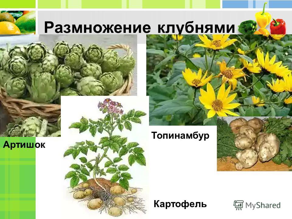 Размножение клубнями Артишок Топинамбур Картофель
