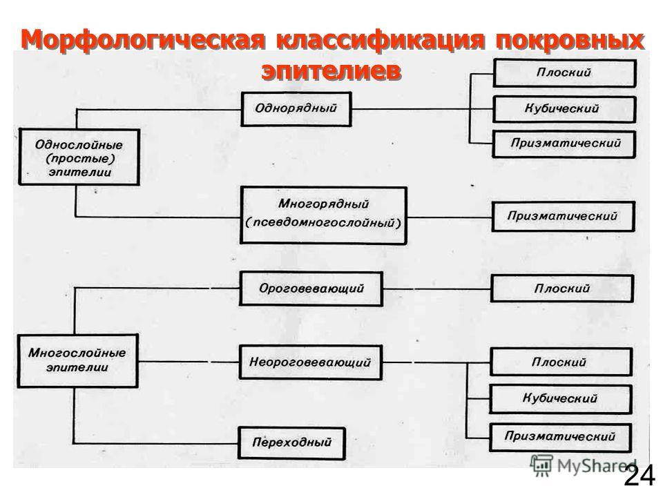 Морфологическая классификация покровных эпителиев 24