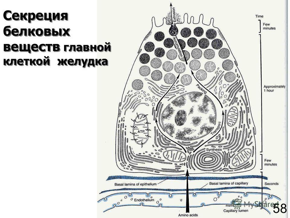 Секреция белковых веществ главной клеткой желудка 58