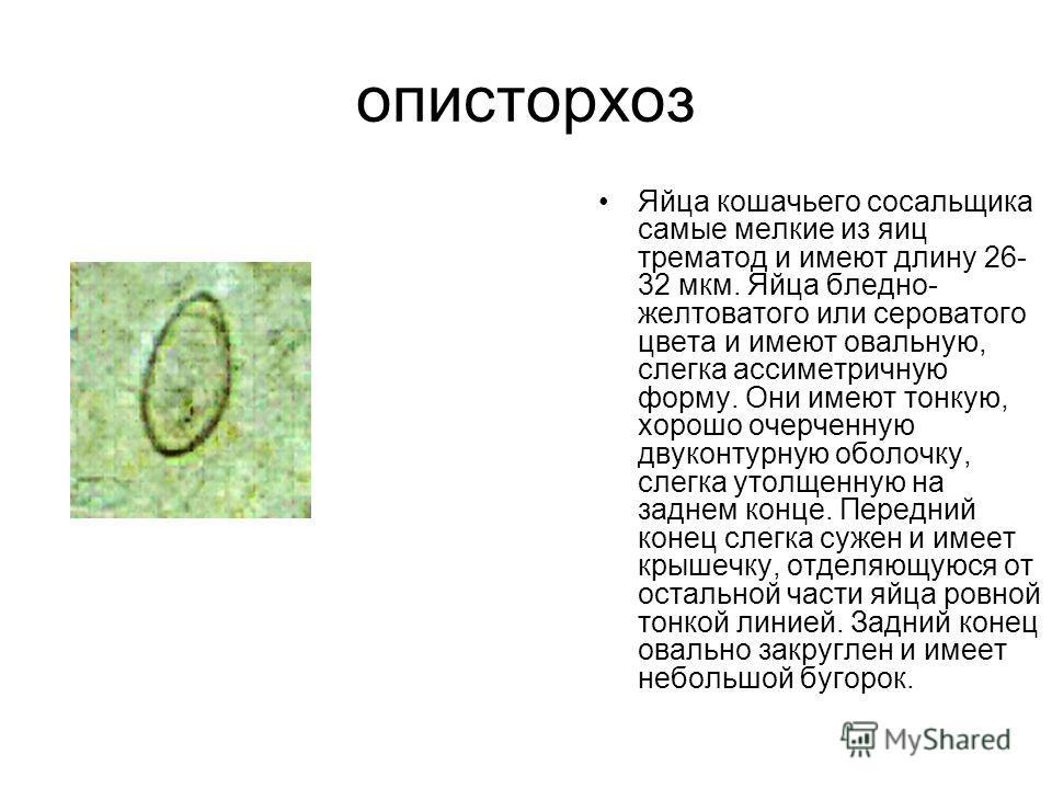описторхоз Яйца кошачьего сосальщика самые мелкие из яиц трематод и имеют длину 26- 32 мкм. Яйца бледно- желтоватого или сероватого цвета и имеют овальную, слегка ассиметричную форму. Они имеют тонкую, хорошо очерченную двухконтурную оболочку, слегка