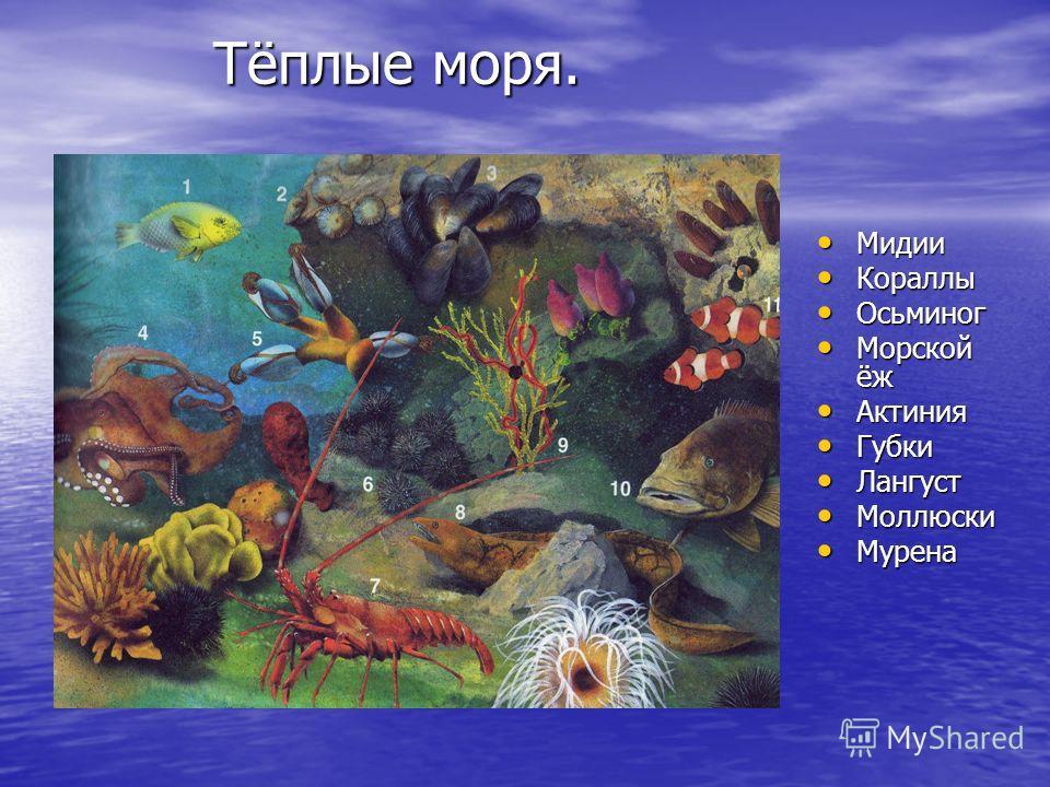 Тёплые моря. Мидии Мидии Кораллы Кораллы Осьминог Осьминог Морской ёж Морской ёж Актиния Актиния Губки Губки Лангуст Лангуст Моллюски Моллюски Мурена Мурена