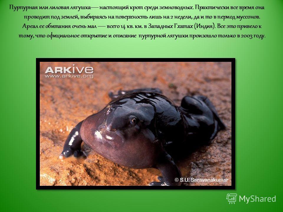 Пурпурная или лиловая лягушка настоящий крот среди земноводных. Практически все время она проводит под землей, выбираясь на поверхность лишь на 2 недели, да и то в период муссонов. Ареал ее обитания очень мал всего 14 кв. км. в Западных Гхатах (Индия