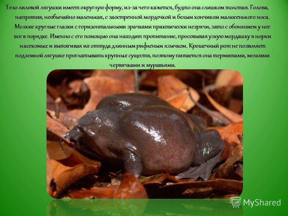 Тело лиловой лягушки имеет округлую форму, из-за чего кажется, будто она слишком толстая. Голова, напротив, необычайно маленькая, с заостренной мордочкой и белым кончиком малюсенького носа. Мелкие круглые глазки с горизонтальными зрачками практически