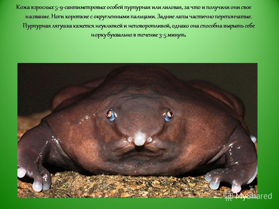 Кожа взрослых 5-9-сантиметровых особей пурпурная или лиловая, за что и получили они свое название. Ноги короткие с округленными пальцами. Задние лапы частично перепончатые. Пурпурная лягушка кажется неуклюжей и неповоротливой, однако она способна выр