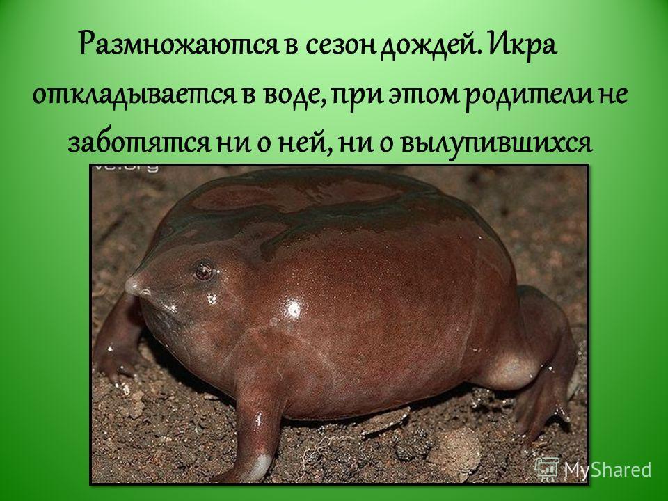 Размножаются в сезон дождей. Икра откладывается в воде, при этом родители не заботятся ни о ней, ни о вылупившихся головастиках.