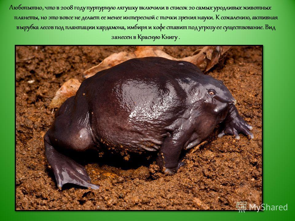 Любопытно, что в 2008 году пурпурную лягушку включили в список 20 самых уродливых животных планеты, но это вовсе не делает ее менее интересной с точки зрения науки. К сожалению, активная вырубка лесов под плантации кардамона, имбиря и кофе ставит под