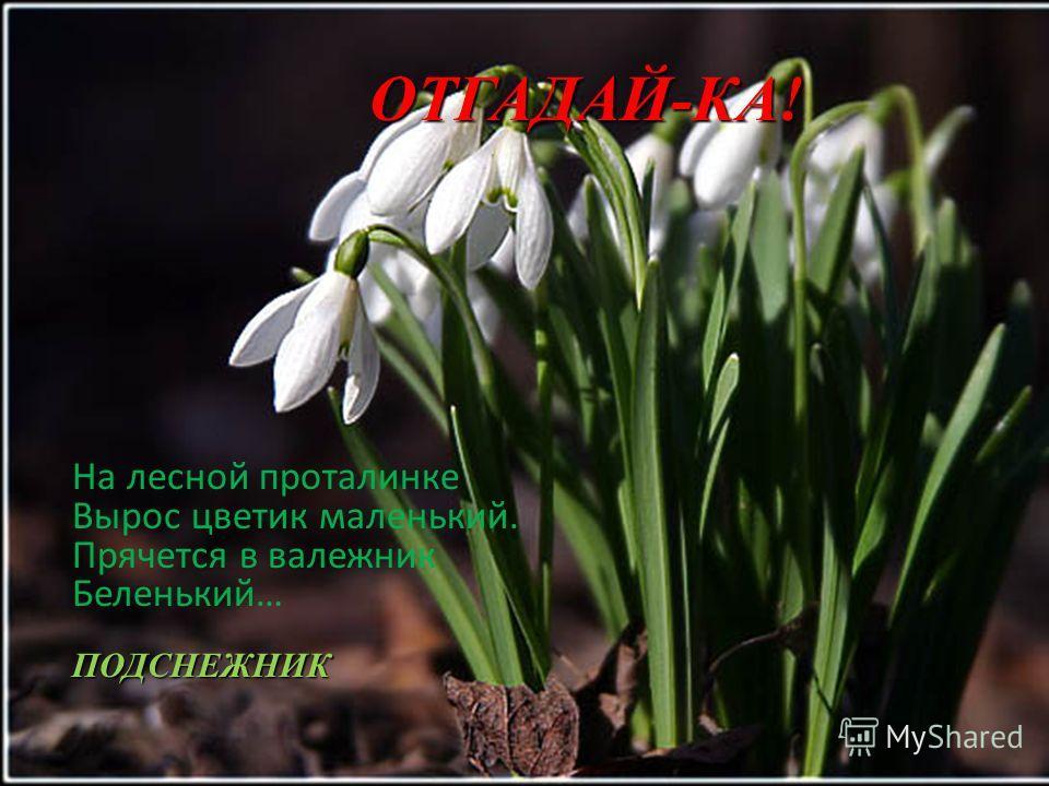 ОТГАДАЙ-КА! На лесной проталинке Вырос цветик маленький. Прячется в валежник Беленький… ПОДСНЕЖНИК
