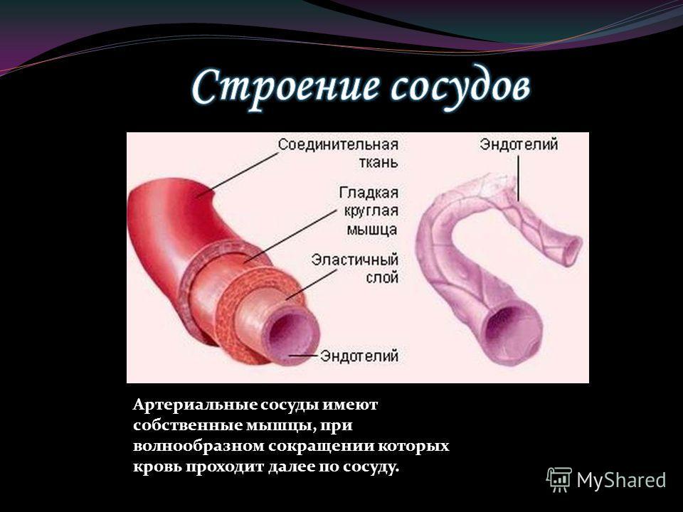Артериальные сосуды имеют собственные мышцы, при волнообразном сокращении которых кровь проходит далее по сосуду.