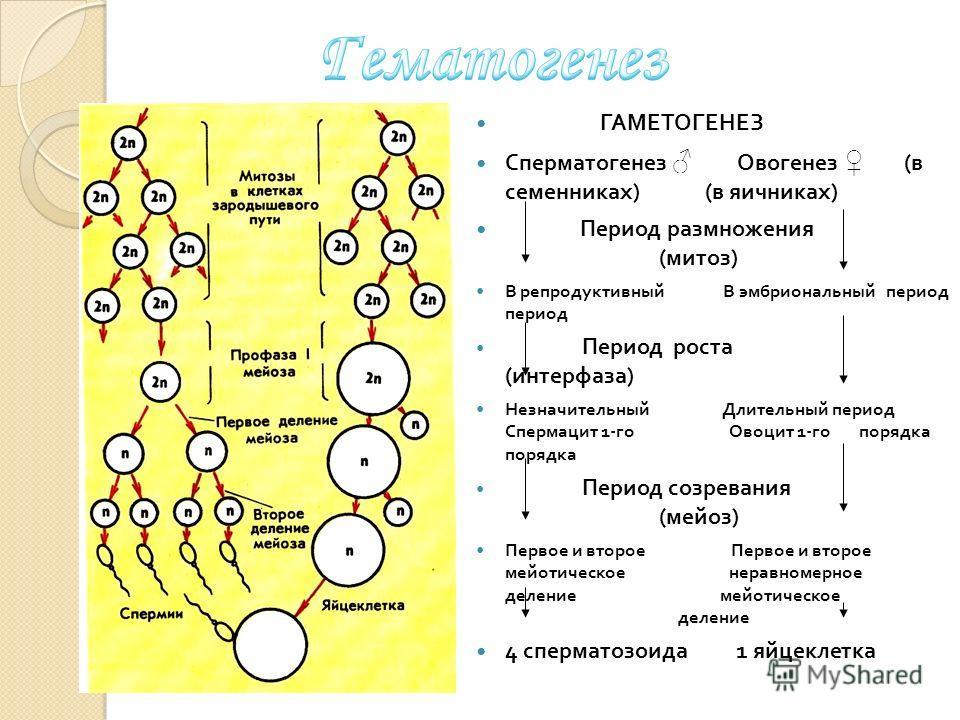 ГАМЕТОГЕНЕЗ Сперматогенез Овогенез ( в семенниках ) ( в яичниках ) Период размножения ( митоз ) В репродуктивный В эмбриональный период период Период роста ( интерфаза ) Незначительный Длительный период Спермацит 1- го Овоцит 1- го порядка порядка Пе